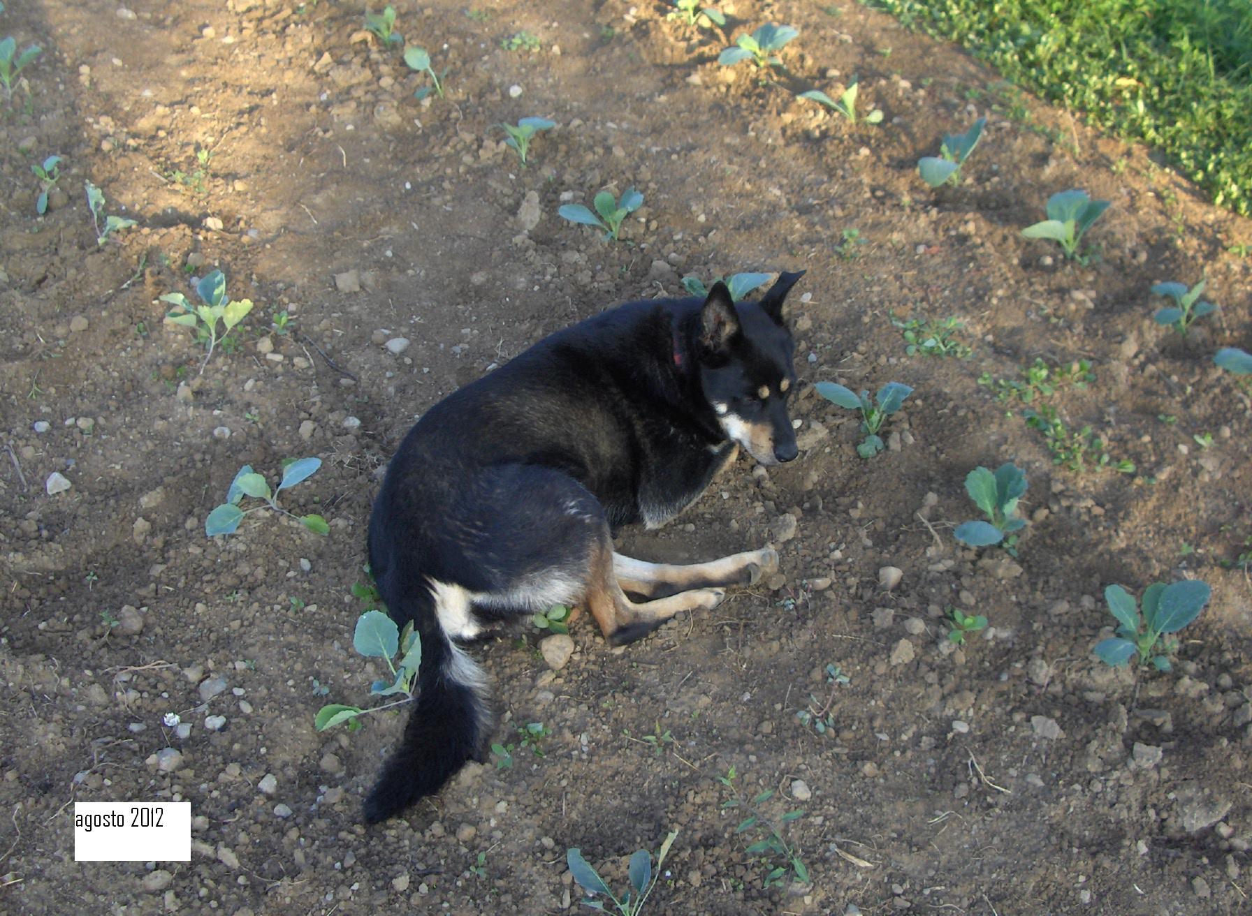 pita cane da orto003 (18)